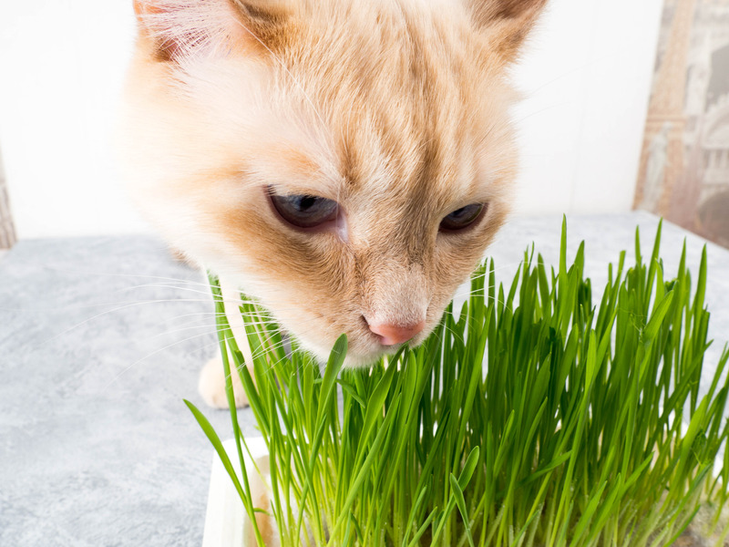 Chat mange de l'herbe